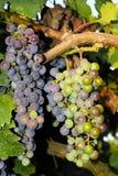 Trauben in einem Weinberg in Italien Stockfotografie