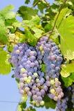 Trauben in einem Weinberg in Italien Lizenzfreies Stockfoto