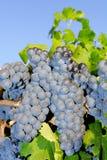 Trauben in einem Weinberg in Italien Stockbild
