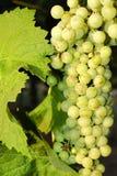 Trauben in einem Weinberg in Mittel-Italien Lizenzfreies Stockbild