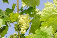 Trauben in einem Weinberg in Mittel-Italien Stockfotos