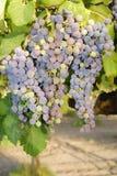 Trauben in einem Weinberg in Mittel-Italien Lizenzfreies Stockfoto