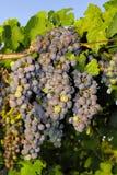 Trauben in einem Weinberg in Mittel-Italien Lizenzfreie Stockbilder