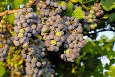 Trauben in einem Weinberg in Mittel-Italien Stockbilder