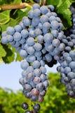 Trauben in einem Weinberg in Mittel-Italien Stockbild
