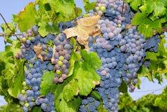 Trauben in einem Weinberg in Mittel-Italien Stockfotografie