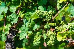 Trauben in einem Weinyard Stockbilder