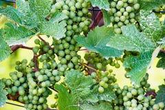 Trauben in einem Weinyard Lizenzfreie Stockbilder