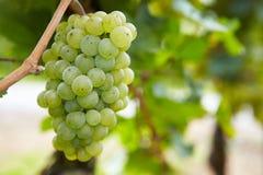 Trauben für weißen Wein Rieslings Lizenzfreie Stockfotografie