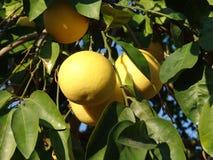 Trauben-Frucht Lizenzfreie Stockfotografie