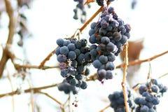 Trauben im Frost Stockfoto