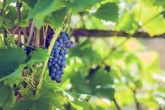 Trauben im Garten Lizenzfreie Stockfotografie