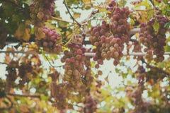 Trauben im Garten Lizenzfreies Stockfoto