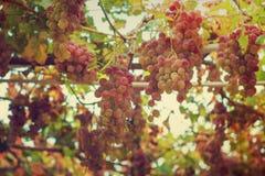 Trauben im Garten Stockfotografie