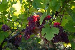 Trauben im Herbst in Elsass in Frankreich lizenzfreie stockbilder
