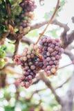 Trauben im Weinberg Stockbild