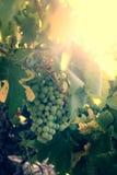Trauben im Weinberg bei Sonnenuntergang Lizenzfreie Stockfotografie