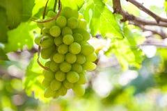 Trauben im Weinberg an einem sonnigen Tag Lizenzfreie Stockfotografie