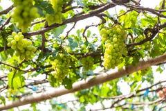 Trauben im Weinberg an einem sonnigen Tag Lizenzfreie Stockfotos