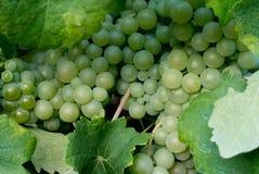 Trauben im Weinbergabschluß oben Stockfoto
