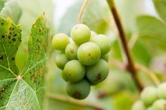 Trauben mit grünen Blättern auf der Rebe Lizenzfreie Stockfotos