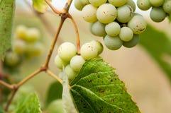 Trauben mit grünen Blättern auf der Rebe Lizenzfreie Stockbilder