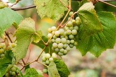 Trauben mit grünen Blättern auf der Rebe Stockfoto