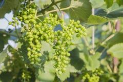 Trauben mit grünen Blättern auf der Rebe Stockfotos