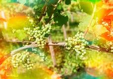 Trauben mit grünen Blättern auf der Rebe draußen mit Sonnenstrahlen und Stockfotografie