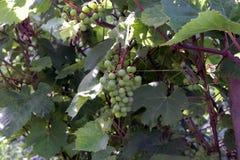 Trauben Nahaufnahme von Trauben in den Anfangsstadien Grüne Trauben Lizenzfreie Stockfotos