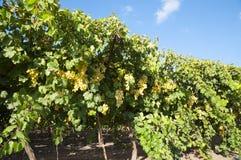 Trauben-Obstgarten Stockfoto