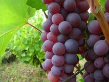 Trauben oder Wein Stockfotografie