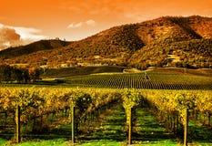 Trauben-Reben im Weinberg am Sonnenuntergang Stockbild