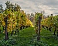 Trauben-Reihen in Autumn Sunlight Stockfotos