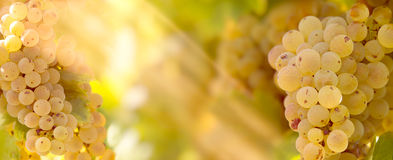 Trauben-Rieslings-Weinrebe auf Weinstock im Weinberg beleuchtete durch Sonnenlichtsonnenstrahlen Lizenzfreie Stockbilder