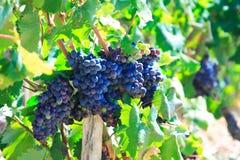 Trauben und vineleaves Lizenzfreies Stockfoto