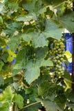 Trauben von grünen Trauben auf einer Niederlassung im Garten Lizenzfreie Stockfotos