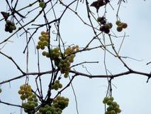 Trauben von Trauben im Spätherbst Stockbild