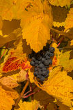Trauben von Reben im Herbst lizenzfreies stockfoto