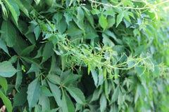 Trauben wachsen im Frühjahr sehr schnell Lizenzfreies Stockbild