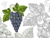 Trauben in Weinlese gravierter Art Lizenzfreies Stockfoto