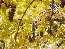 Trauben zwischen Blättern Stockfotos