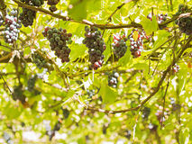 Trauben zwischen Blättern Stockfoto