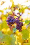 Traubenbündel auf einer Rebe in der Herbsterntezeit stockfoto