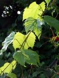 Traubenblätter Stockfotografie