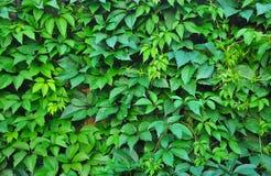 Traubenblätter auf dem Zaun Lizenzfreie Stockfotos