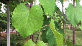 Traubenblätter im Weinberg stock video
