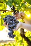 Traubenernte für Weinproduktion lizenzfreie stockfotos