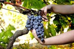 Traubenernte für Weinproduktion stockbilder
