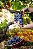 Traubenernte für Weinproduktion lizenzfreie stockbilder
